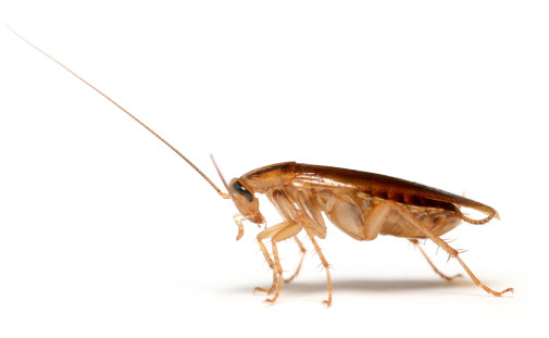 german cockroach in sydney